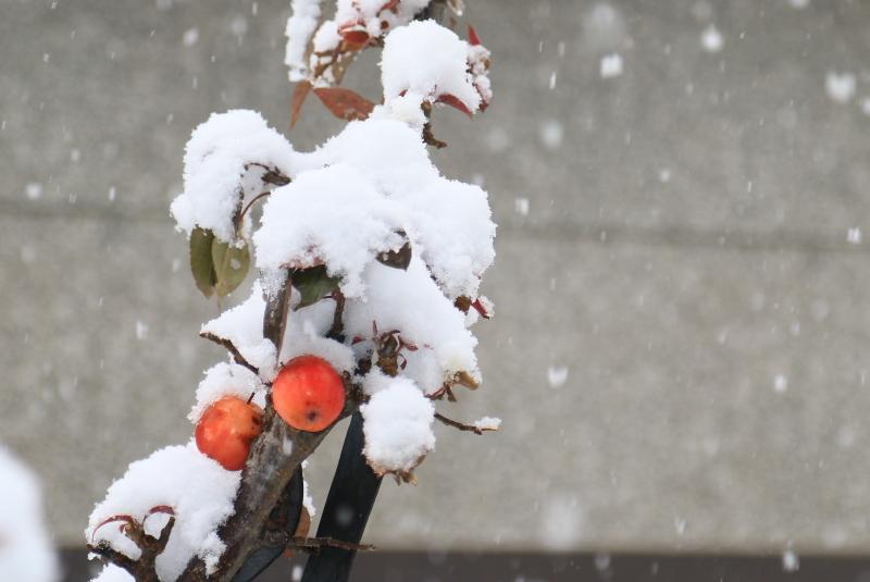 014 雪の中の姫リンゴ0001