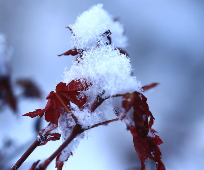017 紅葉の上に雪が0001
