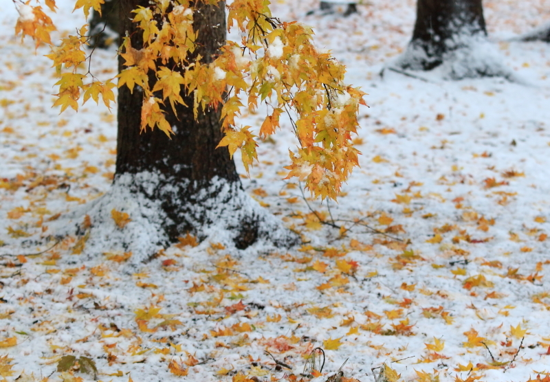 155 雪と黄葉0001