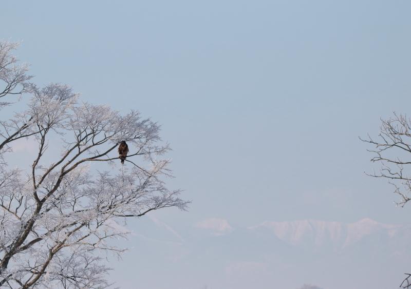 634 霧氷と大鷲幼鳥0001