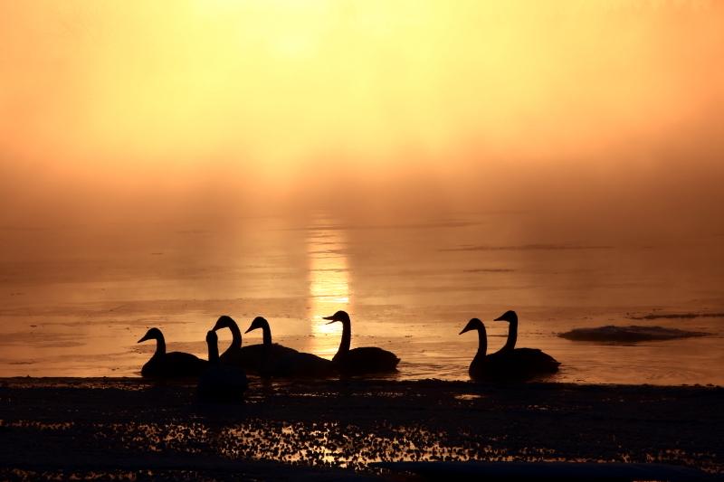 1596 夜明けの白鳥 0001