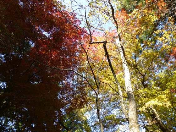参道より見上げる紅葉