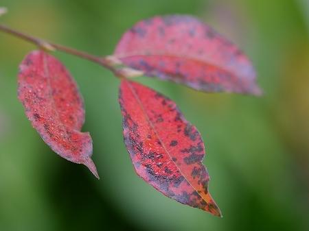 161112裏庭の紅葉 (1)