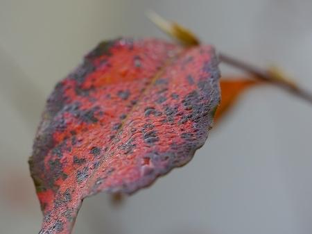 161112裏庭の紅葉 (7)