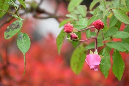 161120朝靄の庭 (24)