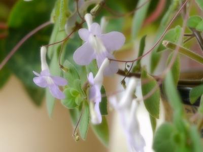 170128室内花 (7)