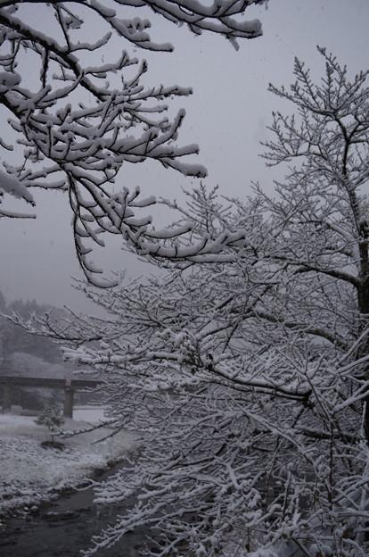 桜の木に積もる雪