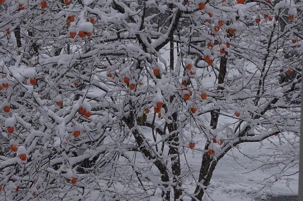 柿の木に積もる雪