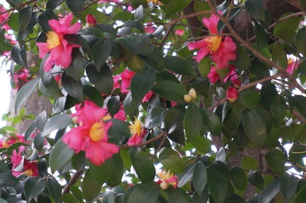 境内に咲く椿