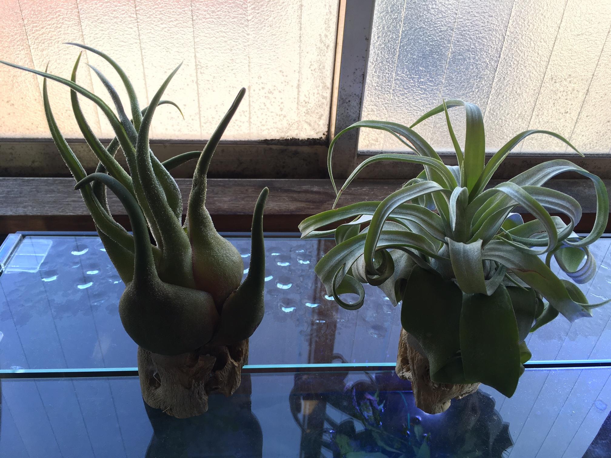 チランジアアリ植物
