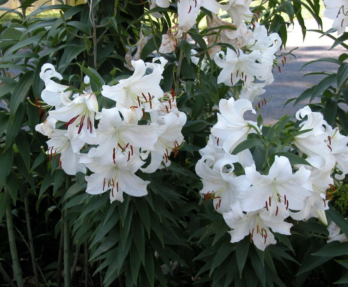 0117casablanca-lily-3