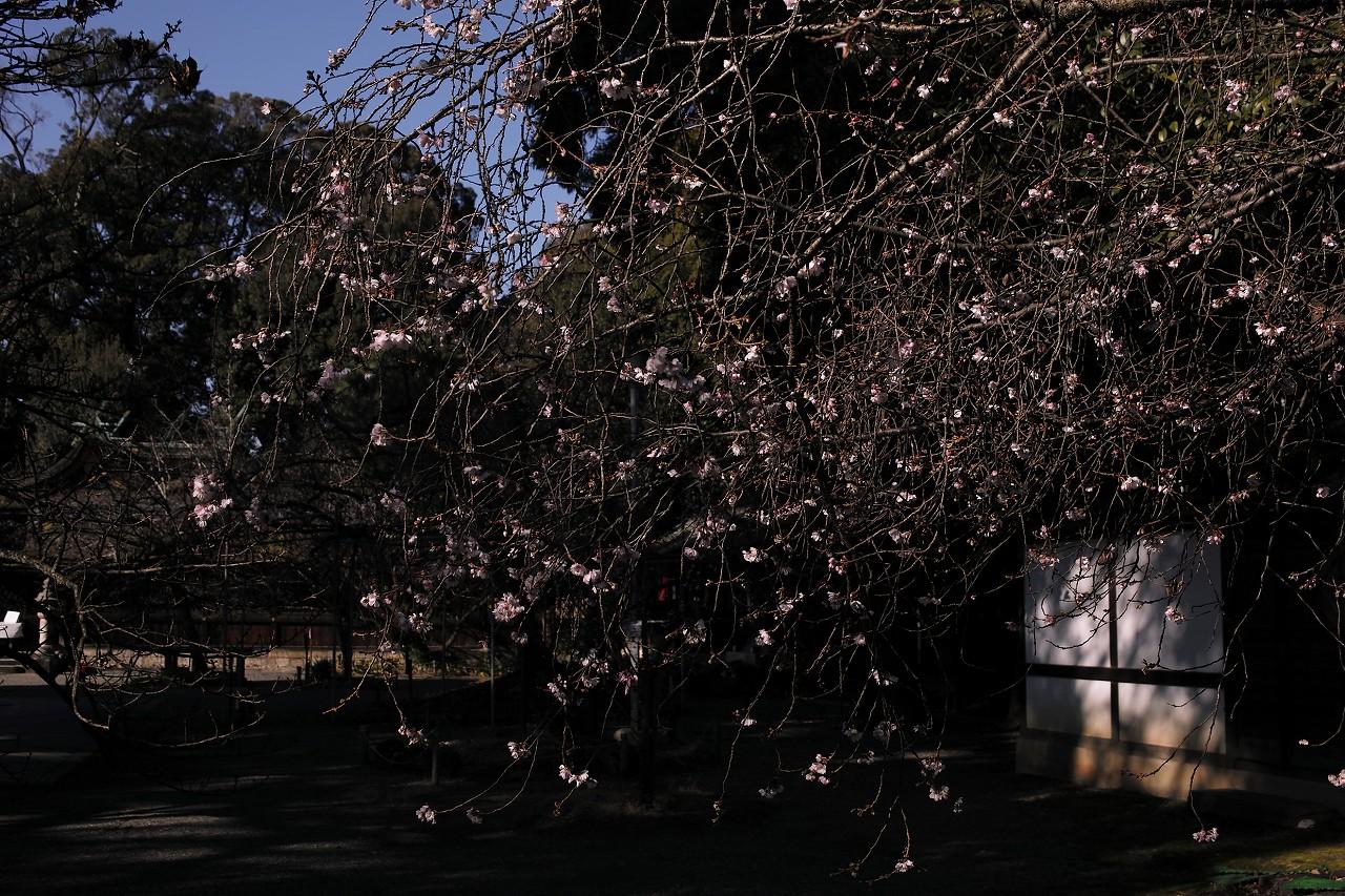元旦桜A08