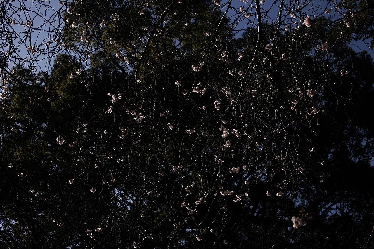元旦桜A10