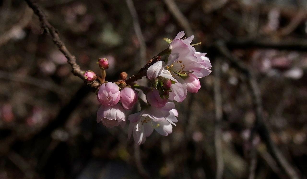 元旦桜A13