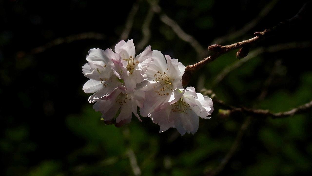 元旦桜A14