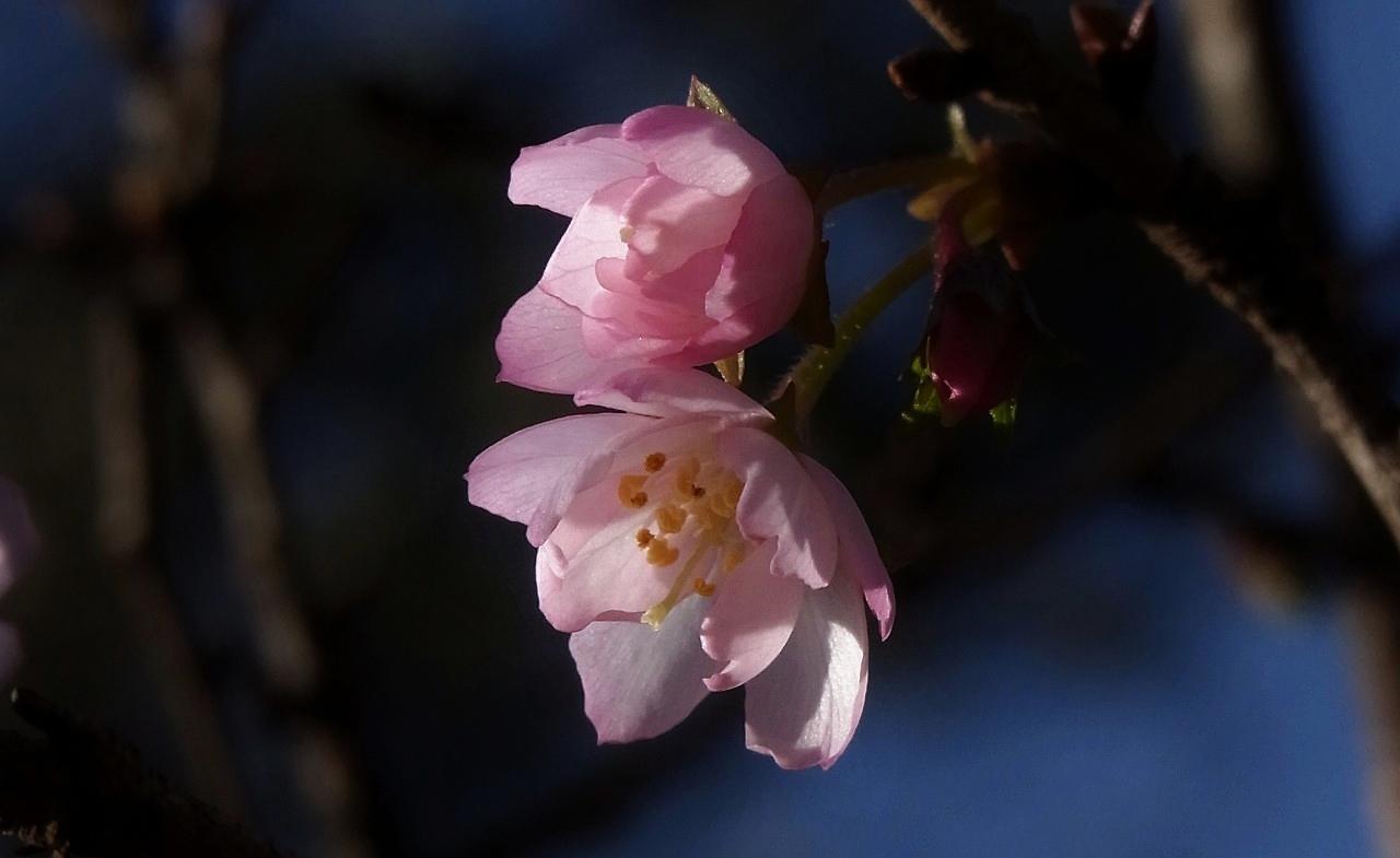 元旦桜A15
