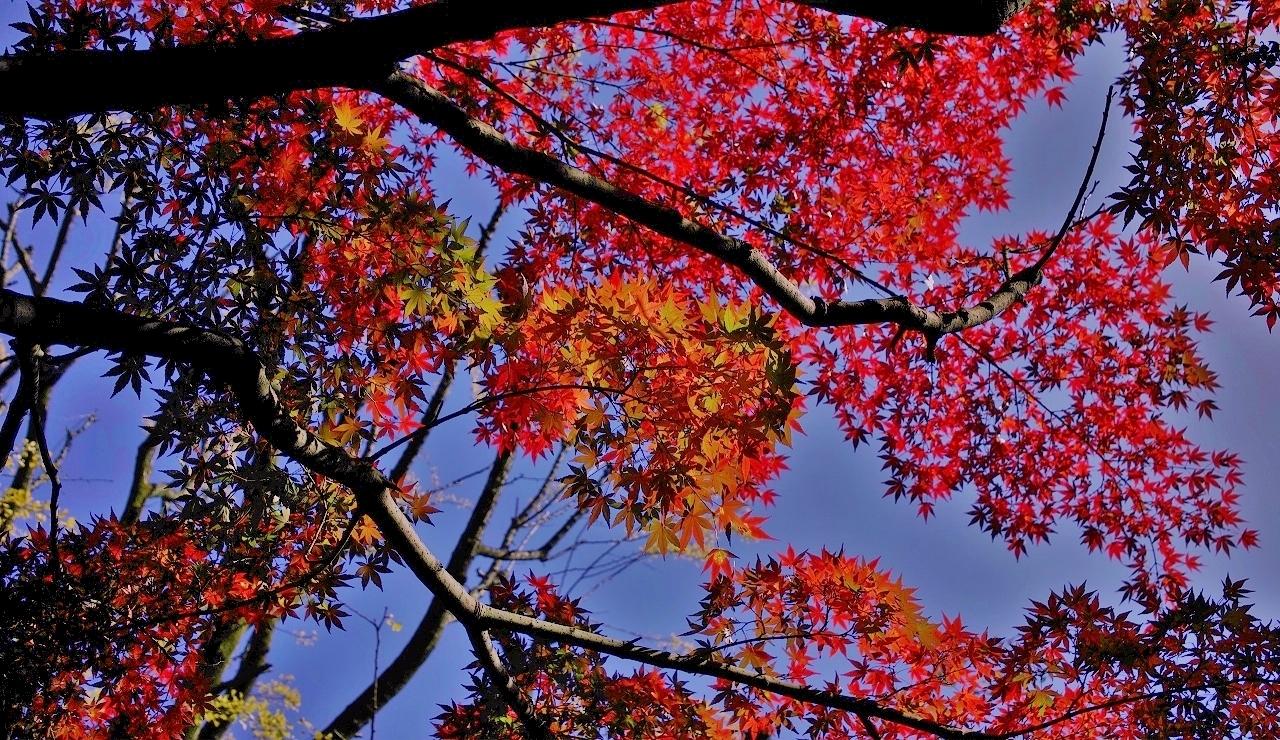 三田の紅葉(5)