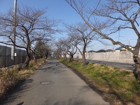 武蔵水路沿い千本桜並木