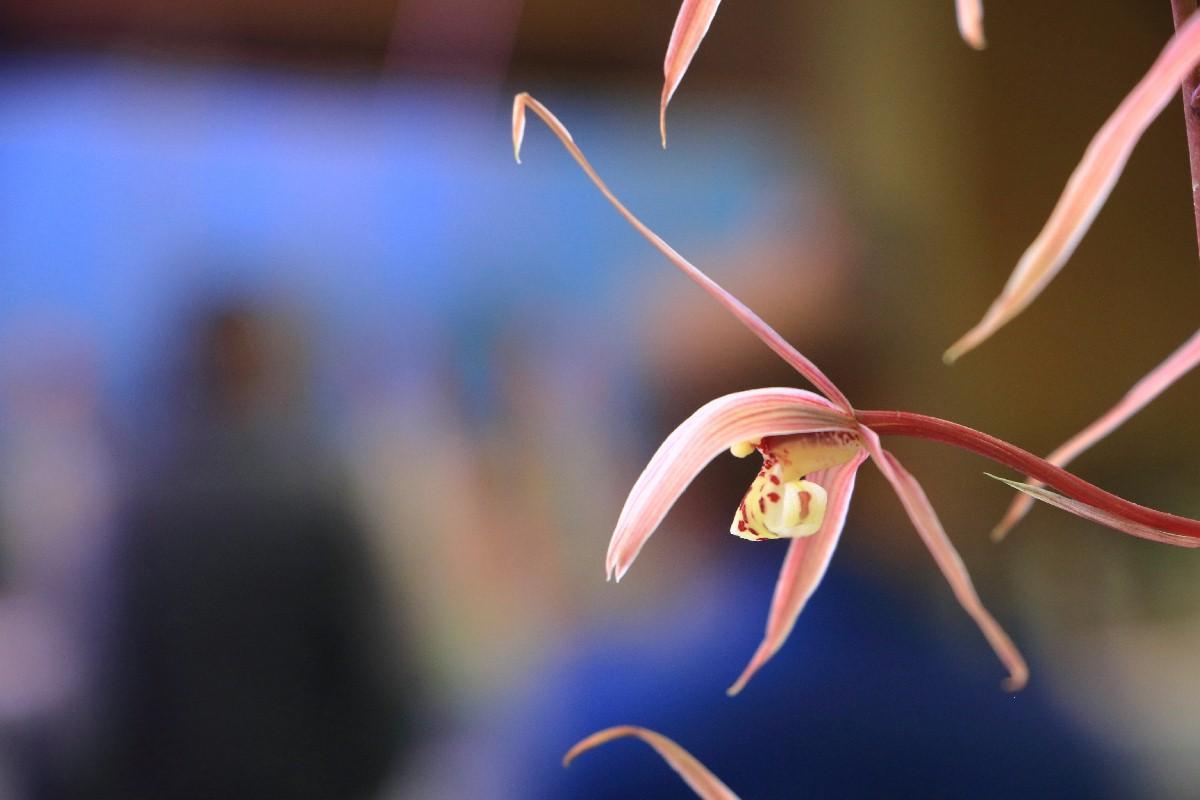 2016 00 寒蘭 日光a 土佐の桃花を代表する名花