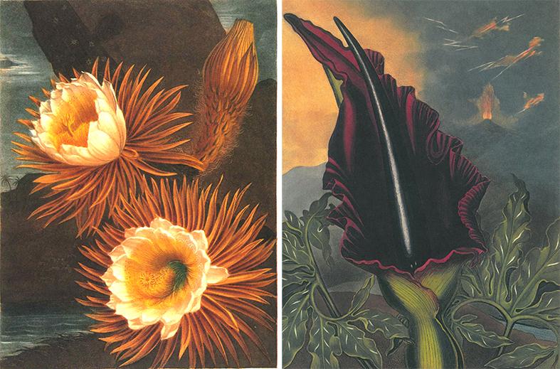 2017 bb 図鑑『フローラの神殿』(1912)に収録されている植物画