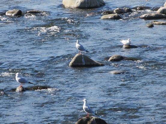 3I02 早川で水鳥 1112