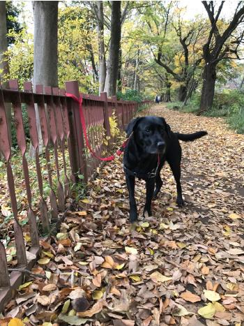 落ち葉とラブラドール