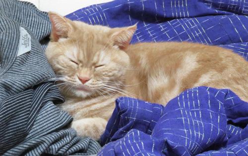 パジャマと半纏の上に寝るきなこ
