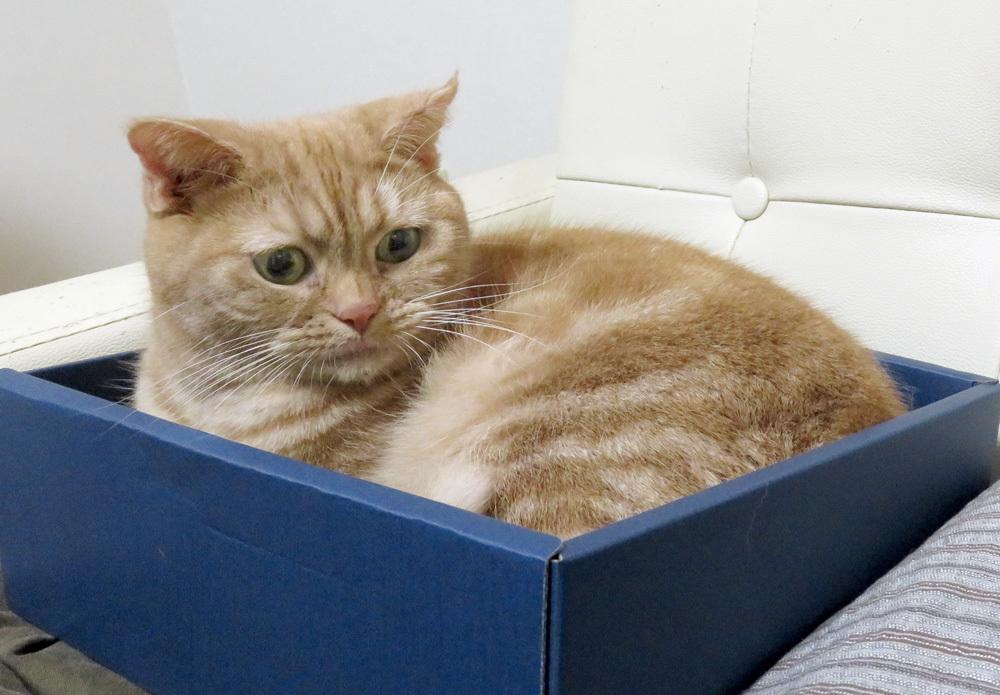 箱におさまるアメショきなこ