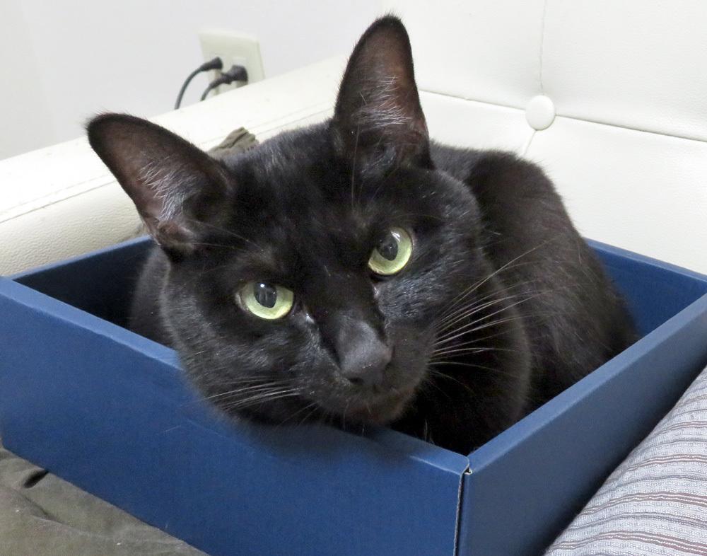 箱の中の黒猫チョコ
