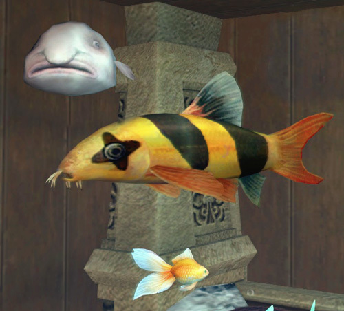 オヤジウオ、クラウンローチ、銅魚