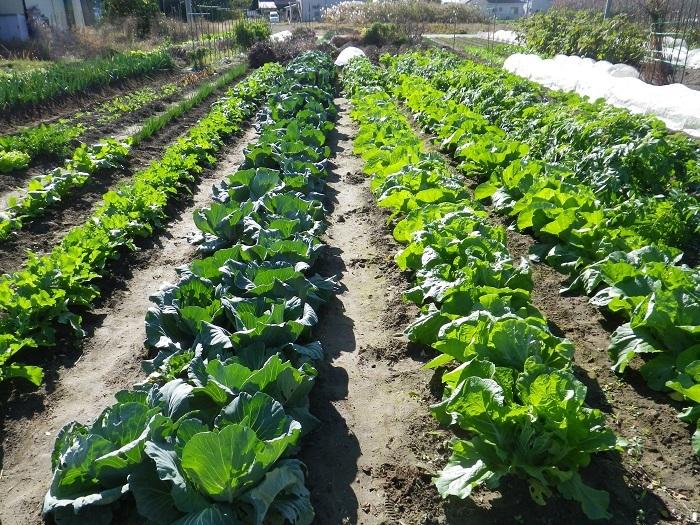 冬野菜16_11_23