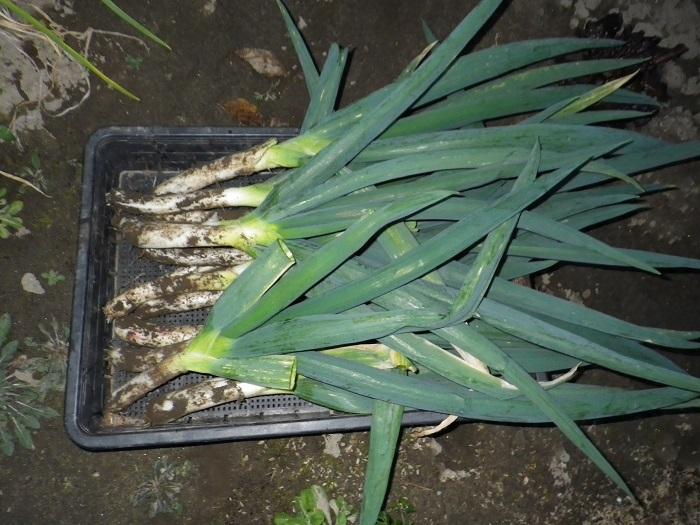 収穫4_16_12_04