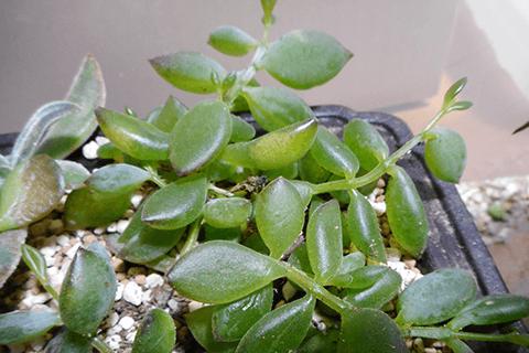 多肉植物ペンデンスの凍傷