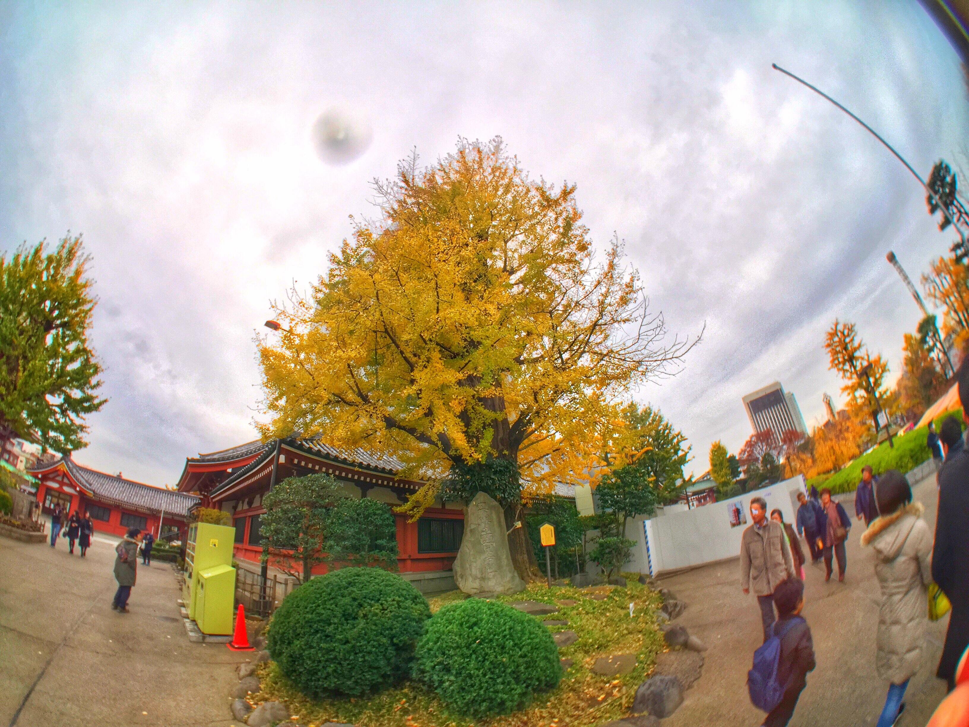 20161127浅草寺イチョウの木