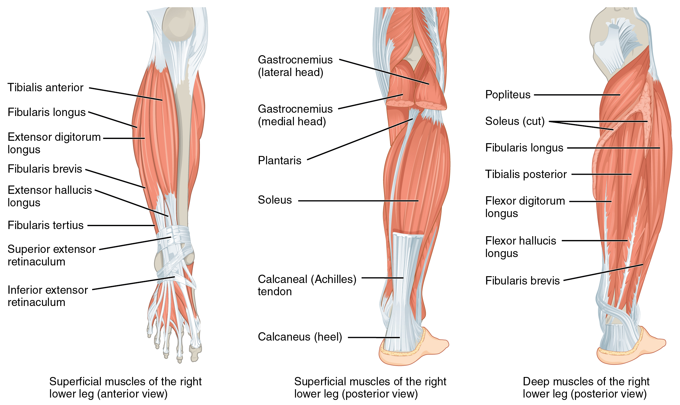 1123_Muscles_of_the_Leg_that_Move_the_Foot_and_Toes.jpg