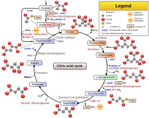 604px-Citric_acid_cycle_with_aconitate.png