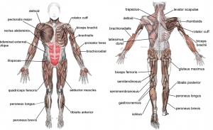 661px-Muscles_anterior_labeled-tile.jpg