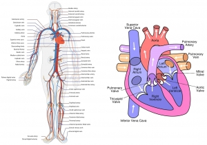 723px-Circulatory_System_en-tile.jpg