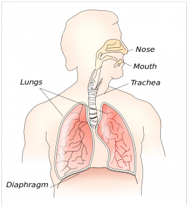 941px-Respiratory_system.png