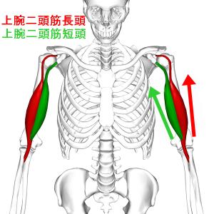 Biceps_brachii_muscle06_20161201204639ec7.png