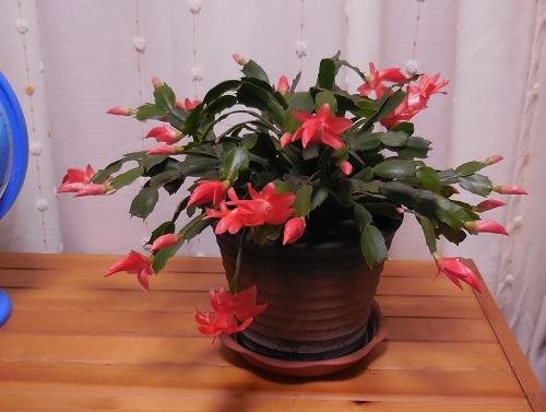 花開くシャコバ(赤)