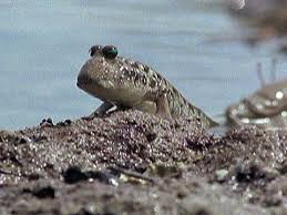 mudskipper.jpeg