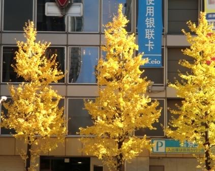 黄金の銀杏
