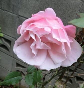 バラ16冬