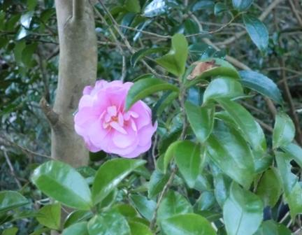 ピンク山茶花