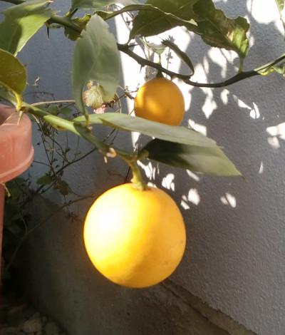 170124-レモンの実-4