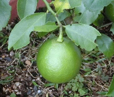 170124-レモンの実-3