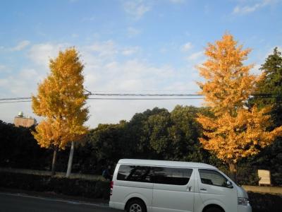 平塚イチョウ並木161119-1