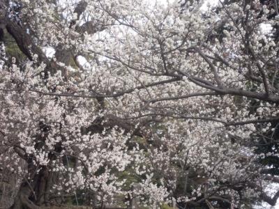小田原城の梅170129