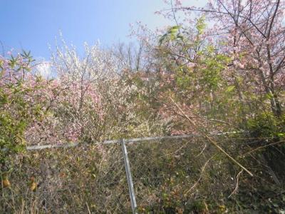 河津桜と梅170129